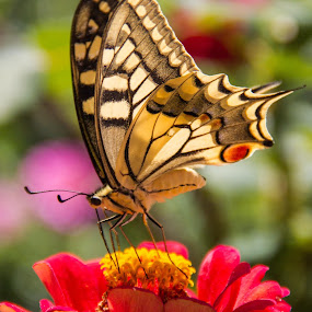 Lunch time by Ricardo Marques - Animals Insects & Spiders ( butterfly, red, yellow, lunch, flower )