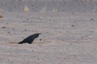 Photo: Corvo collobruno - Corvus ruficollis - Brown-necked Raven