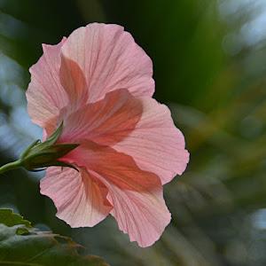 Beauty of hibiscus.jpg