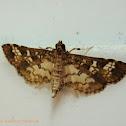 Samea Moth