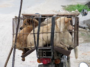 Photo: Day 209 - Poor Dogs Awaiting Their Fate  (China)