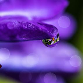 Babiana Waterdrop by Simon Hall - Nature Up Close Natural Waterdrops (  )