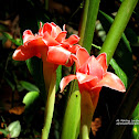 Pink Ginger Lily