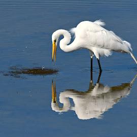 Egret by Ruth Overmyer - Animals Birds (  )
