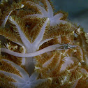 Spotted Xenia Pipefish