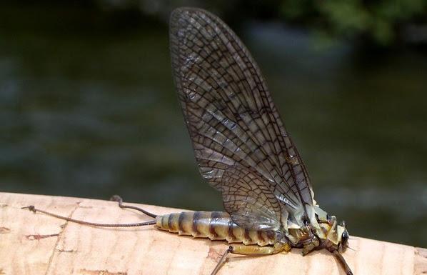 Семейство Heptageniidae - Род Epeorus - Д-р Михаил Пенков