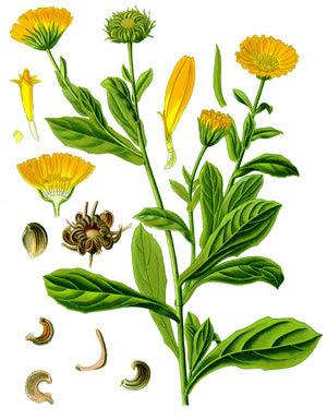 Невен (Calendula)