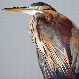 Heron pourpré by Gérard CHATENET - Animals Birds