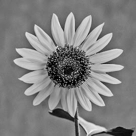 by Mohsin Raza - Black & White Flowers & Plants (  )