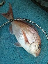 Photo: いいサイズだー! 真鯛キャッチ!