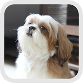 Shih Tzu wallpaper