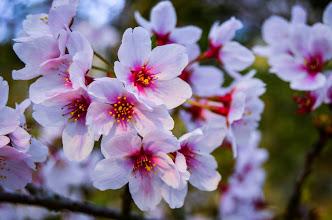 Photo: Sakura (Cherry Blossoms) blooming in the Spring in Okayama Prefecture, Japan