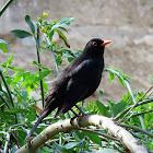 Common blackbird. Mirlo común