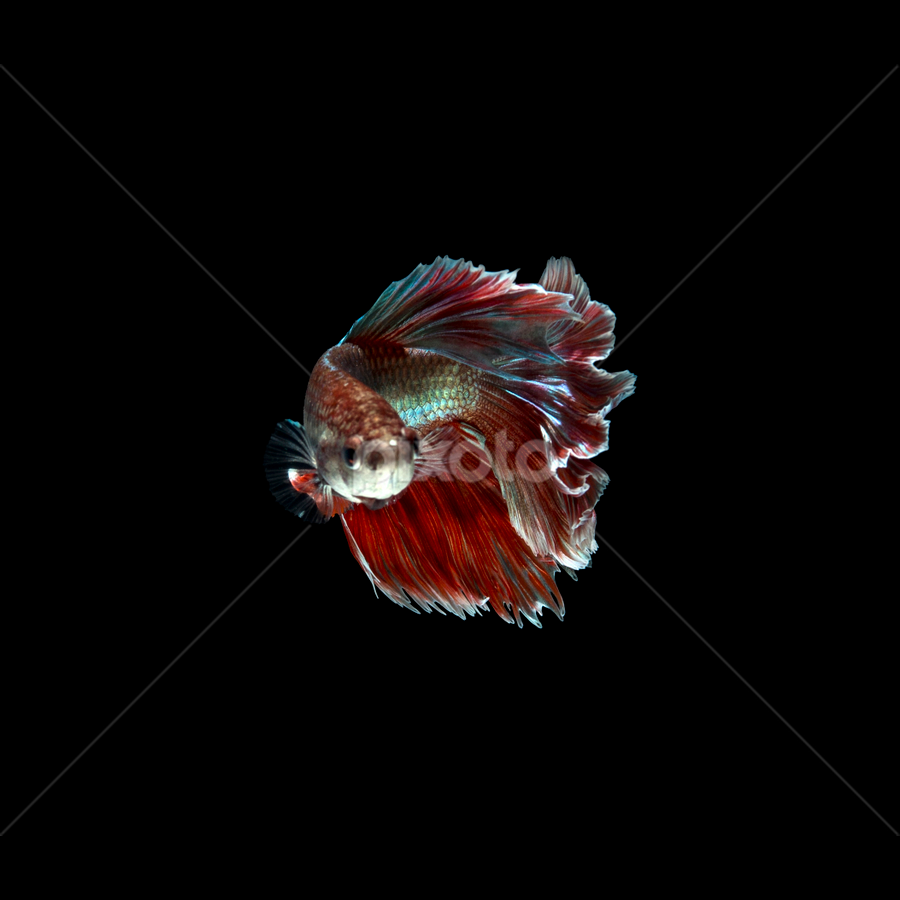 Rose tail Betta by Pisith Song - Animals Fish