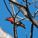 Mistletoebird (male)