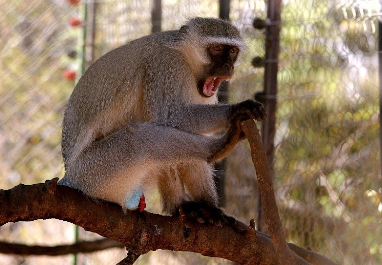 Farmers in Uganda have been shooting 'crop thieves', the vervet monkeys for decades in Uganda.