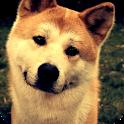 Shiba Inu Live Wallpaper icon