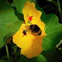 Buff-tailed bumblebee (worker)