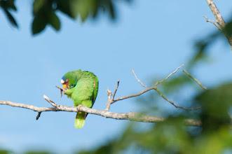 Photo: White-fronted Parrot (Weißstirnamazone); Bacalar, QROO