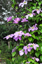 Photo: Clematis 'Madame Baron Veillar'