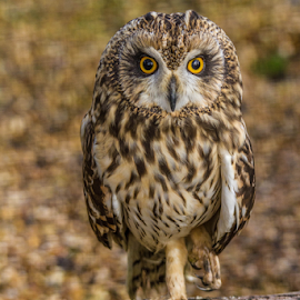 Owl by Garry Chisholm - Animals Birds ( raptor, bird of prey, nature, long eared owl, garry chisholm )