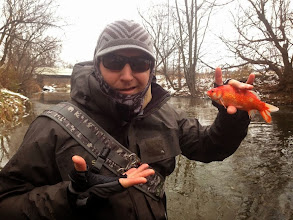 """Photo: And now for something completely different! Our good friend and customer Ryan Srbljan caught this """"goldfish"""" in the Mad River....trout fishing. And on top of that it was during the ice storm on Saturday. Just guessing but this MUST be the 1st fly caught goldfish we have posted. Yes Ryan...it counts as a """"carp catch""""."""