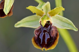 Photo: Ophrys sphegodes, fior di ragno