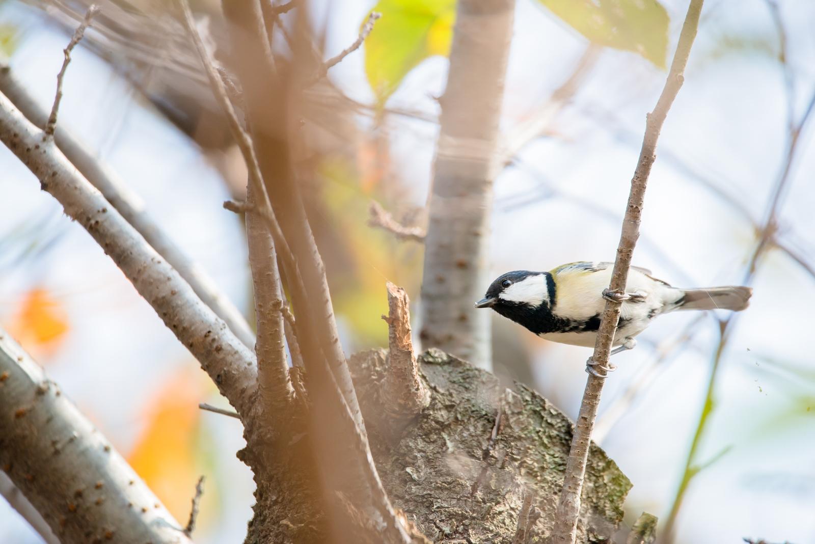 Photo: 秋を駆け抜ける Runs through the autumn.  徐々に視界が広がる 先を見通し 駆け抜ける 次の枝へ次の枝へと  Japanese Tit. (シジュウカラ)  #birdphotography #birds #cooljapan #kawaii #nikon #sigma  Nikon D800E SIGMA 150-600mm F5-6.3 DG OS HSM Contemporary  大塩貴文 写真展『まなざし』 2015年11月20日[金]-29日[日] < http://islandgallery.jp/12134 >