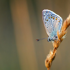 Evening by Donat Piber - Animals Insects & Spiders ( resting, blue, sleeping, buterfly, evening )
