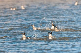 Photo: Pintails - bottoms up!