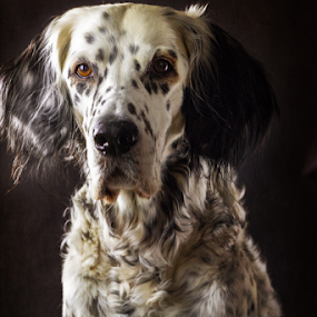 by Susan England - Animals - Dogs Portraits ( birddog, rescue, black and white dog, english setter, portrait )