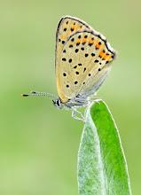 Photo: Lycaena tityrus, Cuivré fuligineux, Sooty Copper, Manto oscuro, Brauner Feuerfalter, Бурый червонец,Titiro, İslibakırgüzeli, Tanskankultasiipi  http://lepidoptera-butterflies.blogspot.com/