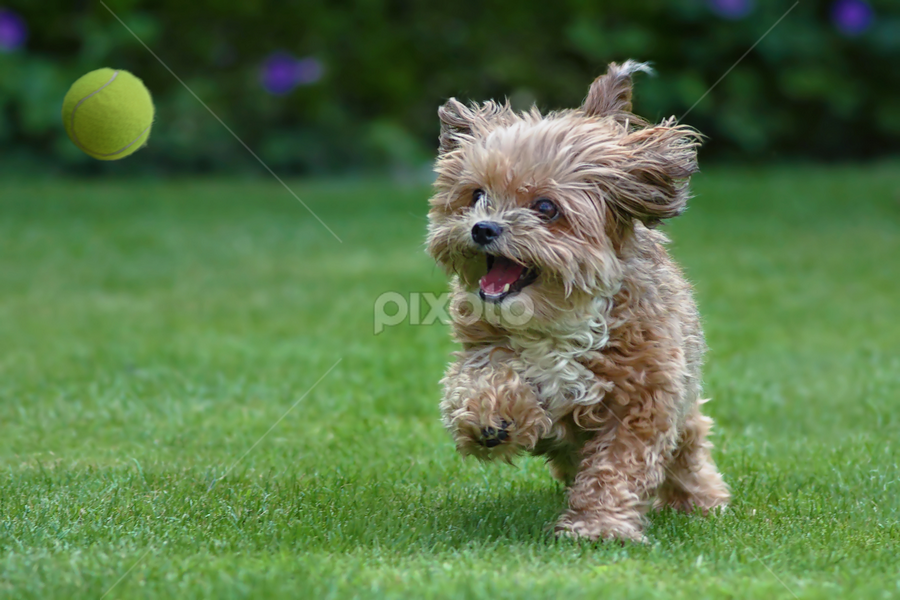 Catch the ball by Michael Milfeit - Animals - Dogs Playing ( natural light, playful, joy, hund, run, cute, pwc76, running, natural background, playing, adorable dogs, curious, toy, nature, happy, animals in motion, mamal, motion, animal, ball, moving, animalia, play, charging, adult, young, portrait, canine, joyful, bolonka, animal kingdom, pet, zoology, dog, companion dog, plaything, #GARYFONGPETS, #SHOWUSYOURPETS,  )