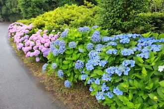 Photo: 6月も残すとこ1週間となりました。壱岐島内ではアジサイが綺麗に咲いています