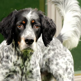 Radar by Sydney Badeau - Animals - Dogs Portraits ( green, white, setter, brown, dog, outside, black )