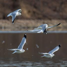 Ring-Billed Gulls @ Blue Marsh by Jerry Hoffman - Animals Birds (  )