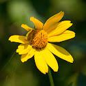 false sunflower, rough oxeye, smooth oxeye
