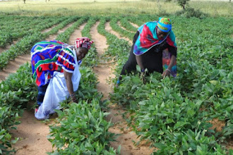 Photo: Submitted by World Food Programme (WFP), Photo by Ken Davies.  Farmers from the Logo Women's Group in the Mopti region of Mali tend to one of their land plots devoted to niébé, as part of WFP's Purchase for Progress (P4P) program.