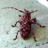 Flat-faced Longhorn Beetle ♀