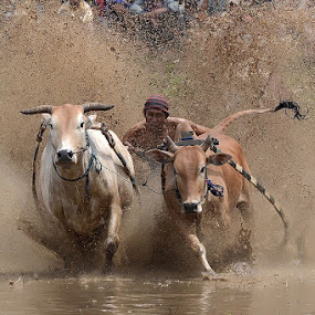 Tail Dance in the Mud by Achmad Tibyani - Sports & Fitness Other Sports ( indonesia, the pacu jawi )
