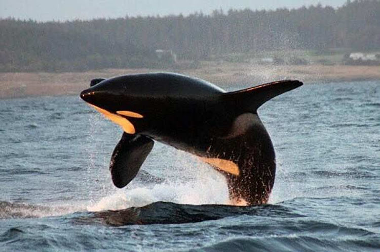 An orca caught in mid-jump in Juneau, Alaska.