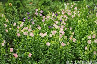Photo: 拍攝地點: 梅峰-溫帶花卉區 拍攝植物: 風鈴草 拍攝日期: 2014_05_27_FY