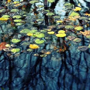 Water Lilies PX.jpg