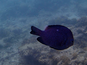 Photo: Dascyllus trimaculatus (Domino Damselfish), Entatula Island Beach Club reef, Palawan, Philippines.