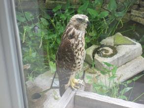 Photo: Hawk