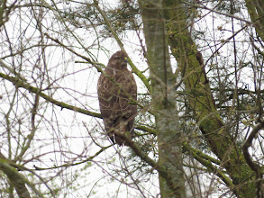 Photo: Priorslee Lake Rather obscured by twigs this Buzzard peers out at me. (Ed Wilson)