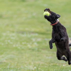Labradoodle Fetch 4 of 4 by Anthony Ashcroft - Animals - Dogs Playing ( fetch, ball, grass, labradoodle, running, cornwall, playing, shallow dof, d750, puppy, nikon, dog, tennis ball, black )