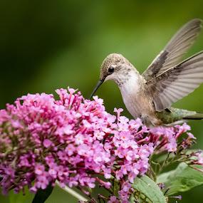 Hummingbird by Steve Densley - Animals Birds ( bird, hummingbird, wildlife, flowers, birds,  )
