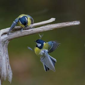 Talgoxe by Michael Pelz - Animals Birds