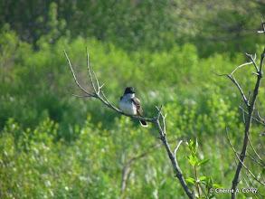 Photo: Kingbird